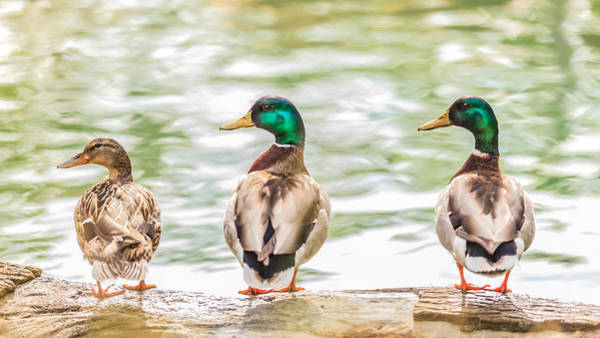 Photograph - Got My Ducks In A Row by Keith Allen