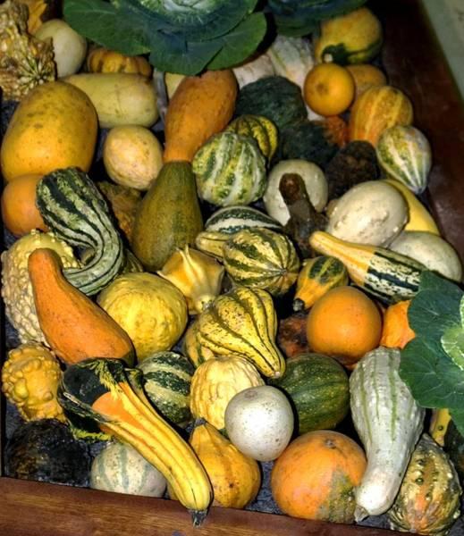 Cucurbita Wall Art - Photograph - Gourds (cucurbita Sp.) by Brian Gadsby/science Photo Library