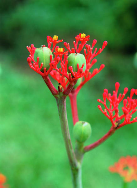 Belly Photograph - Gout Plant (jatropha Podagrica) by Bjorn Svensson/science Photo Library