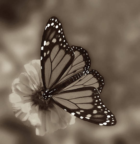 Monarch Butterfly Wall Art - Photograph - Grace by Don Spenner