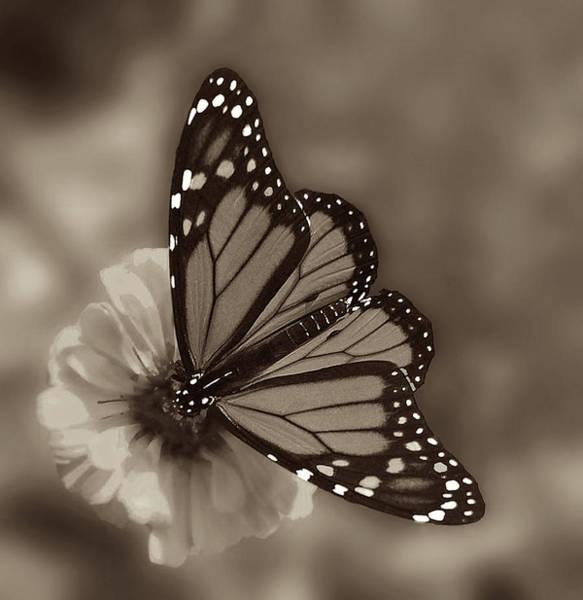 Monarch Butterflies Photograph - Grace by Don Spenner