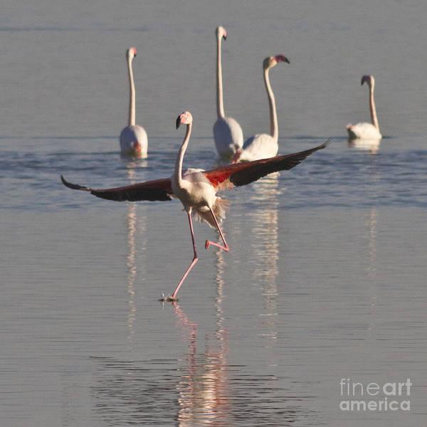 Photograph - Graceful Flamingo Dance by Heiko Koehrer-Wagner