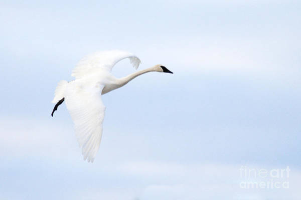 Photograph - Graceful Landing by Larry Ricker