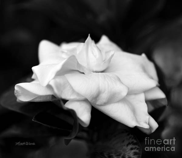 Photograph - Graceful Soft And Sweet by Michelle Constantine