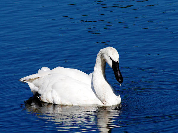 White Swan Photograph - Graceful Swan by Rebecca Cozart