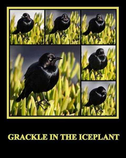 Photograph - Grackle In The Ice Plant by AJ  Schibig