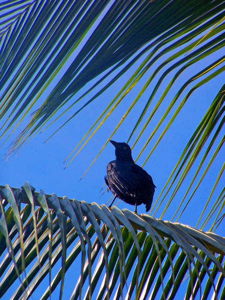 Photograph - Grackle In The Palms by Jennifer Robin