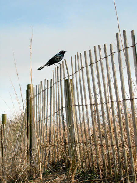 Photograph - Grackle On A Fence by Rob Huntley