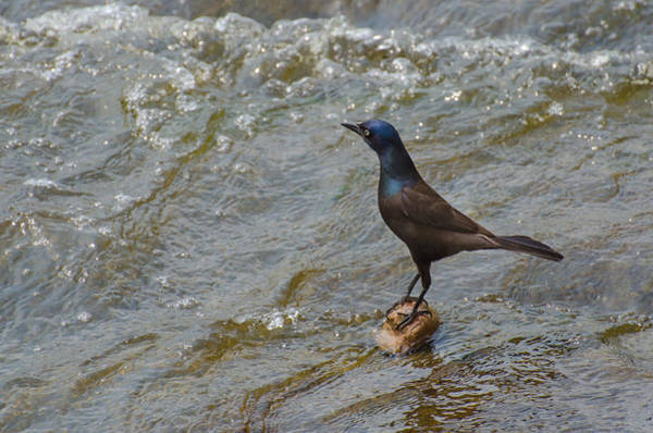 Napanee Photograph - Grackle On A Rock by Shane Laing
