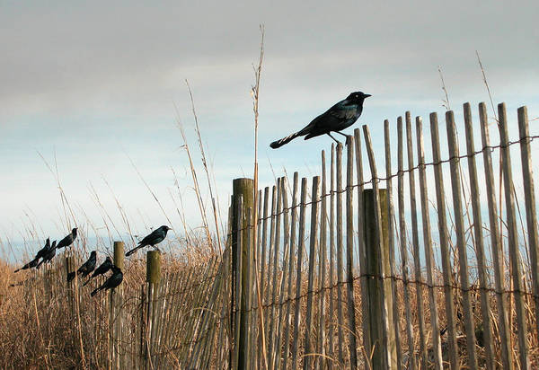 Grackles On A Fence. Art Print