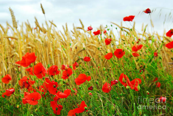 Field Photograph - Grain And Poppy Field by Elena Elisseeva