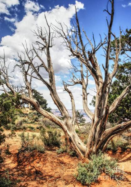 Photograph - Grand Canyon Bristlecone Pine by Mel Steinhauer