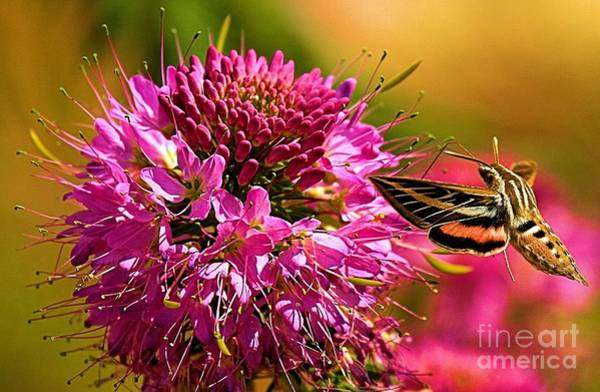 Photograph - Grand Canyon Hummingbird Moth by Adam Jewell