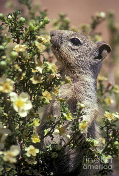 Photograph - Grand Canyon Rock Squirrel by Jim West