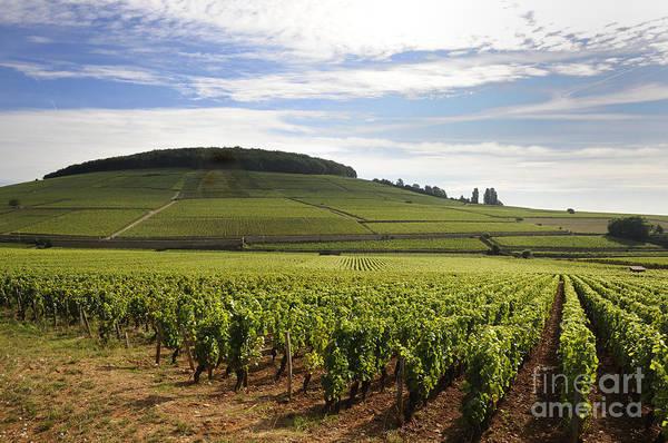 Daylight Photograph - Grand Cru And Premier Cru Vineyards Of Aloxe Corton. Cote De Beaune. Burgundy. by Bernard Jaubert