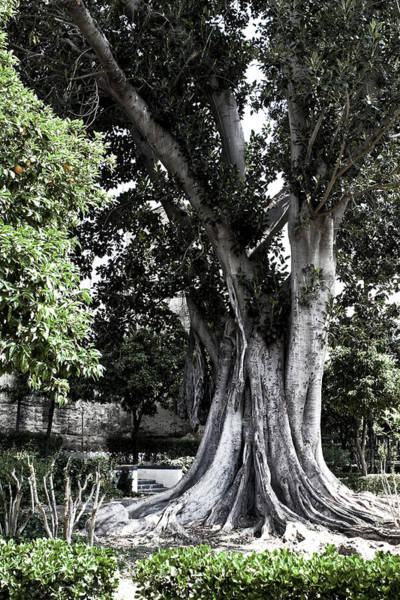 Photograph - Grand Seville Tree by Lorraine Devon Wilke