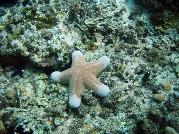 Wall Art - Photograph - Granular Sea Star by Carleton Ray