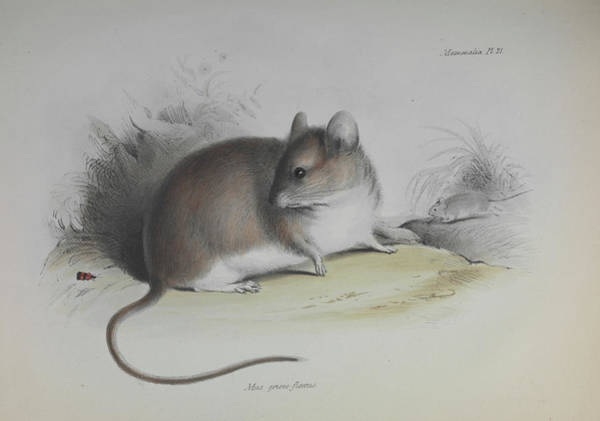 1838 Photograph - Graomys Mouse by Natural History Museum, London/science Photo Library