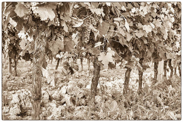 Wall Art - Photograph - Grape Bunches On The Vine - Toned by Georgia Fowler