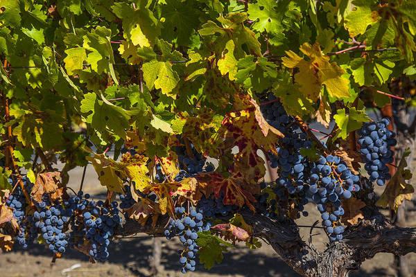 Grape Leaves Photograph - Grape Harvest by Garry Gay