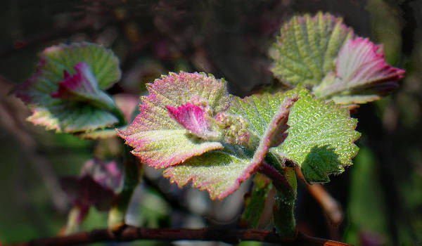 Wall Art - Photograph - Grape Leaves In Spring by Steve Karol