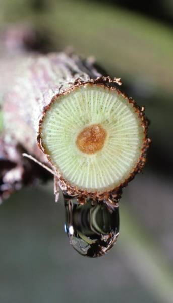Wall Art - Photograph - Grape Vine Stem Showing Root Pressure by Dr Jeremy Burgess/science Photo Library