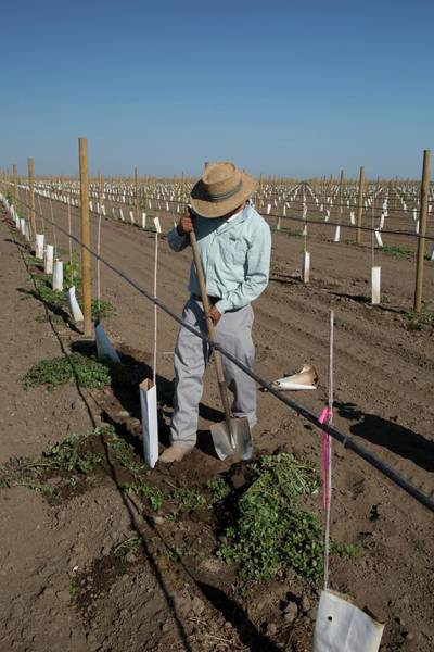 San Joaquin Valley Photograph - Grape Vines Being Tended In Vineyard by Jim West