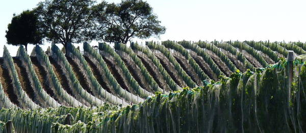 Photograph - Grape Vines In Nets by Jeff Lowe