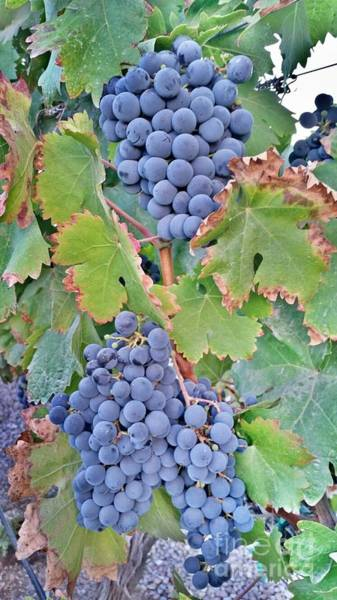 Photograph - Grapes  by Bridgette Gomes
