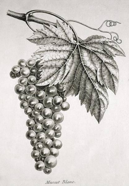 Grape Leaves Photograph - Grapes by George Bernard/science Photo Library