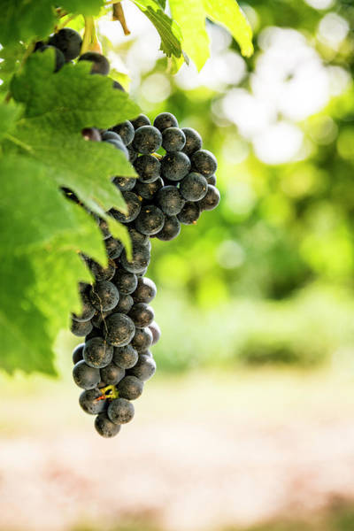 Purple Grapes Photograph - Grapes In The Vineyard by Mauro grigollo
