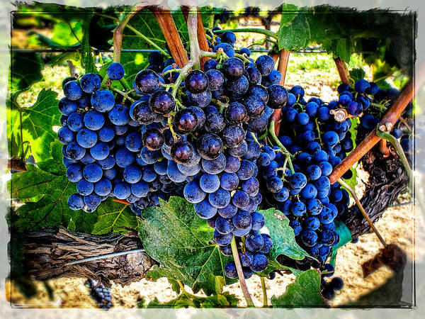 Photograph - Grapes Of Art 1 by Roxy Hurtubise