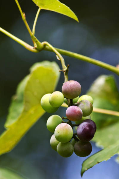 Photograph - Grapes On The Vine by Christina Rollo