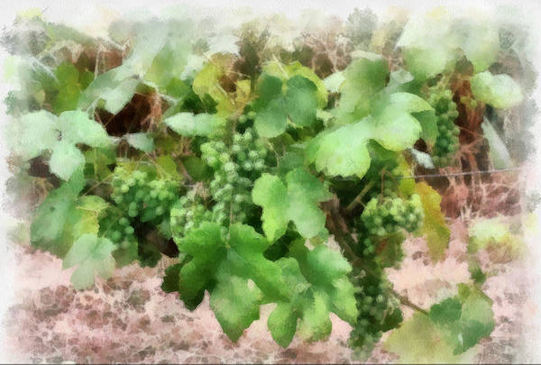 Photograph - Grapes On The Vine by Gerry Bates