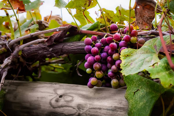 Photograph - Grapes On The Vine by Ron Pate