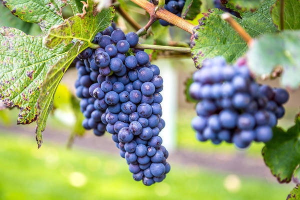 Mission Bc Photograph - Grapes Ready by Mike Houghton BlueMaxPhotography