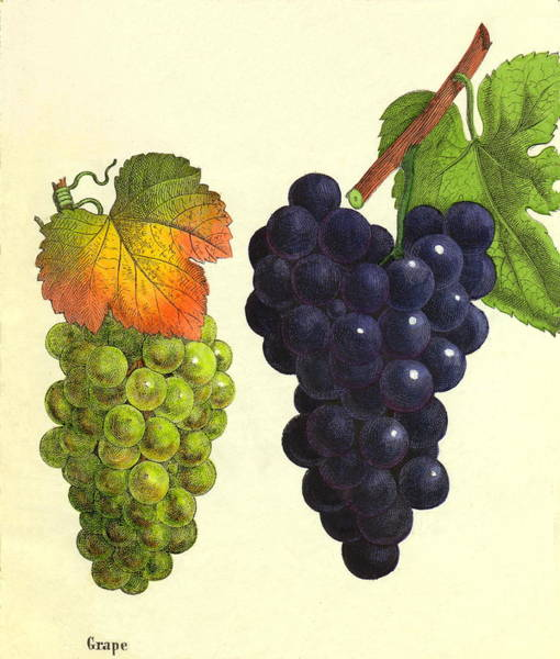 Grape Leaves Photograph - Grapes by Sheila Terry/science Photo Library