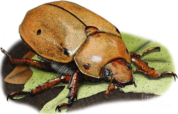Photograph -  Illustration Of A Grapevine Beetle by Roger Hall
