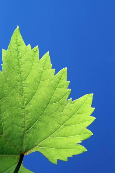 Leaf Venation Wall Art - Photograph - Grapevine Leaf by Mauro Fermariello/science Photo Library