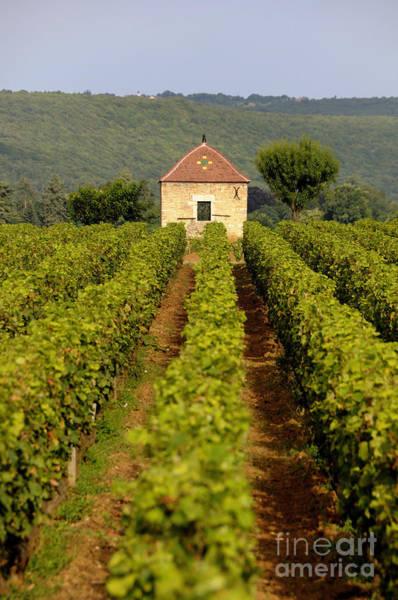 Grape Wine Photograph - Grapevines. Premier Cru Vineyard Between Pernand Vergelesses And Savigny Les Beaune. Burgundy. Franc by Bernard Jaubert