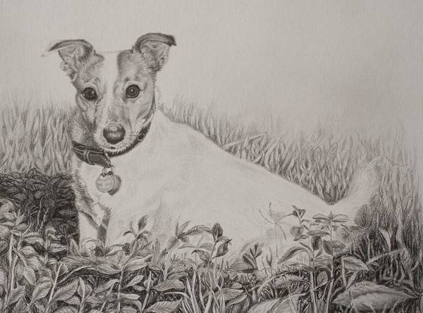 Wall Art - Drawing - Graphite Drawing - Jack Russell Terrier by Roena King