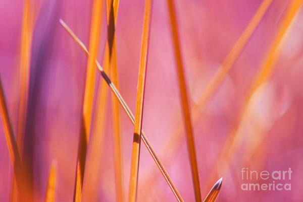 Mauve Photograph - Grass Abstract - 03439 by Variance Collections