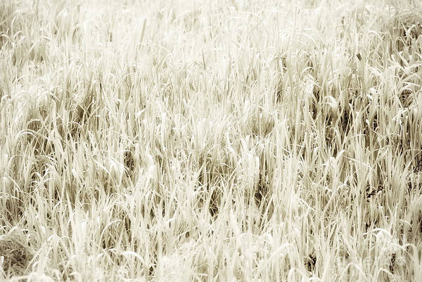 Uncut Photograph - Grass Abstract by Elena Elisseeva