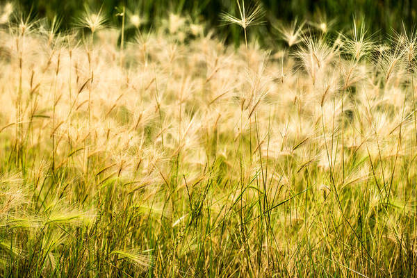 Photograph - Grass Feathers by  Onyonet  Photo Studios