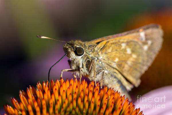 Photograph - Grass Skipper Feeding by Bernd Laeschke
