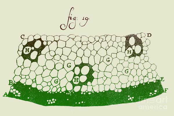 Photograph - Grass Stem-engraving-1719 by Biophoto Associates