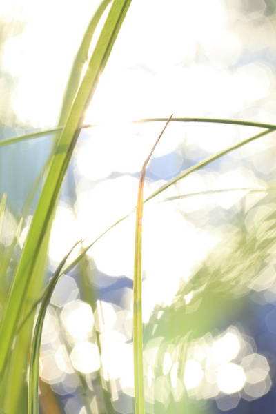 Wall Art - Photograph - Grasses And Sun Reflections - High Key - Available For Licensing by Ulrich Kunst And Bettina Scheidulin