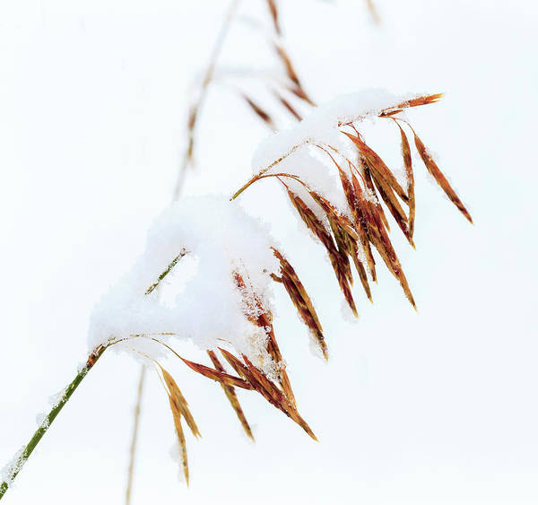 Continental Divide Photograph - Grasses, First Snow Of October by Maresa Pryor