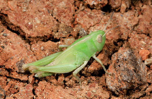 Entomological Photograph - Grasshopper Aiolopus Strepens Nymph by Nigel Downer