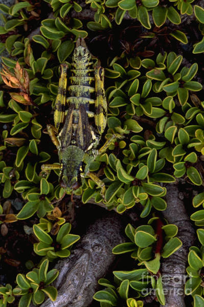 Photograph - Grasshopper by Art Wolfe